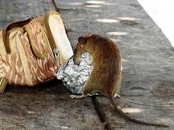 rat pest control brisbane